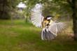 Great tit (Parus major) a passerine bird in the tit family Paridae in flight
