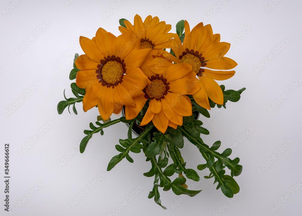 Fototapeta kwiat Gazania rigens bukiet pomarańczowy na jasnym tle