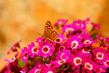 Close-up Of Butterfly Pollinating On Pink Flowers