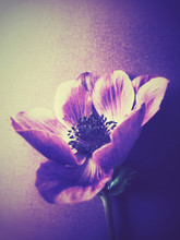 High Angle View Of Anemone Flower On Table