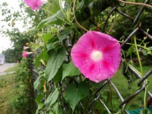 Close-up Of Pink Morning Glory Blooming On Chainlink Fence