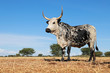canvas print picture - Nguni cow - indigenous cattle breed of South Africa - on rural farm.