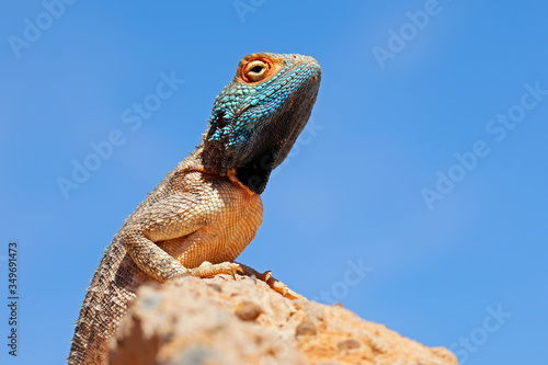 Photo Portrait of a ground agama (Agama aculeata) sitting on a rock against a blue sky, South Africa