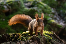 European Red Squirrel Crouching On A Trunk