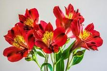 Red Alstroemeria Flowers Again...