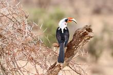 Hornbill On A Thorn Bush