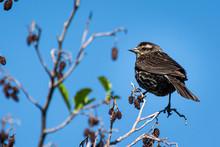 Female Black-bird Perched On T...