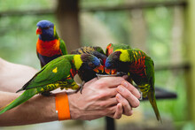 Parrots Eating Seeds From The Human Hand.