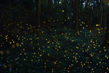 Firefly(luciola Parvula) In Th...