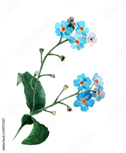 Fototapety, obrazy: Forget-me-not flowers on the white background, watercolor.