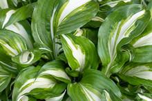 Hosta Undulata Is A Cultivar O...