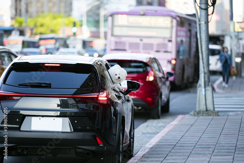 Photo A beautiful Bichon Frize dog is looking out a car window along a street in Taipei, Taiwan