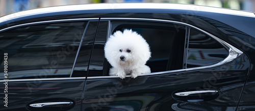A beautiful Bichon Frize dog is looking out a car window along a street in Taipei, Taiwan Canvas Print