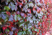 Climbing Grape Plant With Red Ivy Leaves In Fall On The Old Brick Wall. Autumn Seasonal Texture