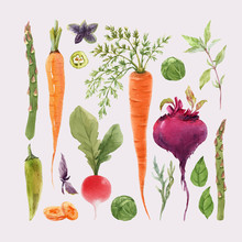 Beautiful Vector Set With Watercolor Hand Drawn Different Vegetable Paintings. Stock Illustration.