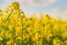 Yellow Rapeseed Field In Sunlight
