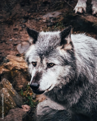 Obraz na plátně Grey and white wolf in close-up with brown and dark background.
