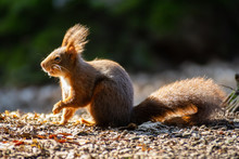 European Red Squirrel With Thick Tail
