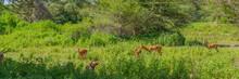 A Group Of Impala Antelopes, Tarangire National Park, Tanzania