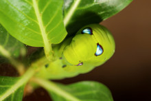 Close Up Green Worm Or Daphnis...