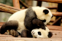 Giant Panda Playing With Sibling