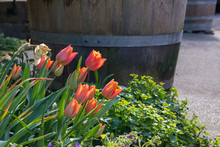 Red Tulip Blossoms With A Wodd...