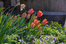Red Tulip Blossoms With A Wodden Barrel In The Background