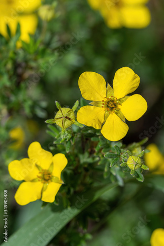 Yellow Shrubby Cinquefoil flower, Latin name (Potentilla fruticose) Billede på lærred