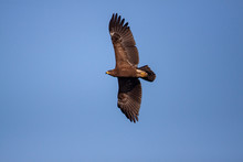 Lesser Spotted Eagle (Clanga Pomarina) Is A Bird Of Natural Life.