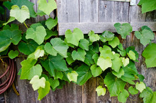 High Angle View Of Ivy Growing On Fence