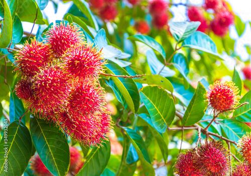 Fotografiet Close-up Of Fresh Rambutans Growing On Tree