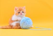Cute Persian Kitten Playing Wi...