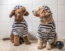 Spanish Water Dog Dogs Dressed...