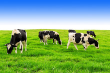 Cows Grazing On Field Against ...