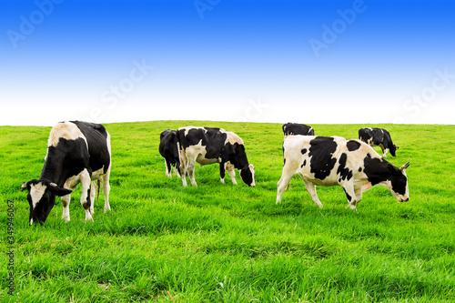 Photo Cows Grazing On Field Against Clear Sky