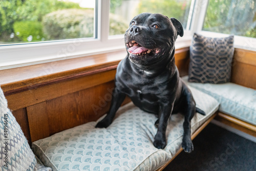 Staffordshire Bull Terrier dog sitting on a window alcove seat with a vintage wo Canvas Print