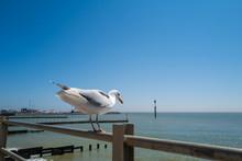 Seagull Sitting On Railings Ab...
