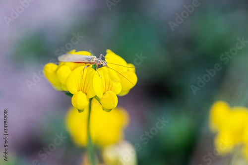 Small long red and orange bug crawling on a wild yellow pea flower