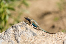 Blue Belly Lizard In The Desert Posing On A Rock With Green Background