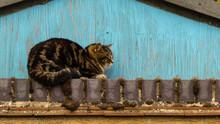 Old Domestic Tabby Cat (Felis ...