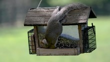 Eastern Gray Squirrel Hanging ...