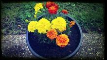 Marigolds In Flower Pot