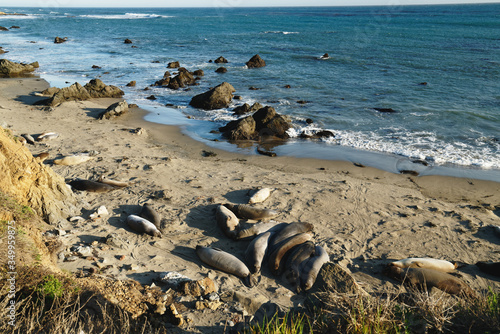 Fotografija Northern elephant seals on the beach, mating and birthing season, Piedras Blancas, San Simeon, California