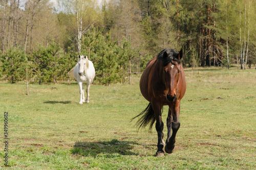 Valokuvatapetti One bay horse goes straight to the photographer.