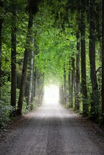 A Tunnel Of The Single Lane Country Road And Tall Green Trees. Sunlight Through The Tree Trunks. Fairy Summer Landscape. Idyllic Forest Scene. Latvia