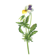 The Yellow Wild Pansy Flower (Viola Tricolor, Viola Arvensis, Heartsease, Johnny Jump Up, Kiss-me-quick) Hand Drawn Botanical Watercolor Painting Illustration Isolated On White Background