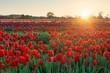 canvas print picture - Tulip in farm sunrise
