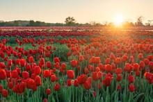 Tulip In Farm Sunrise