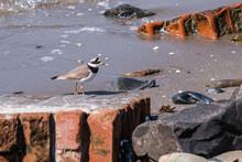 Common Ringed Plover (Charadri...