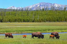 Female Bison With Calves Grazing In Yellowstone National Park, Wyoming